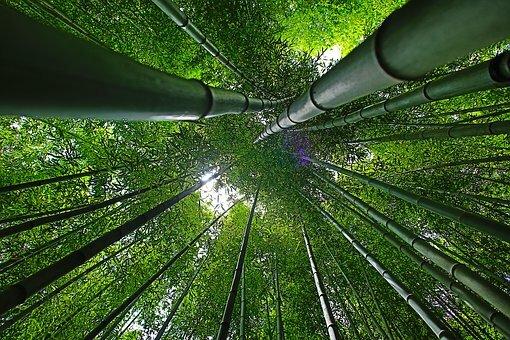 Bosque de bambú.