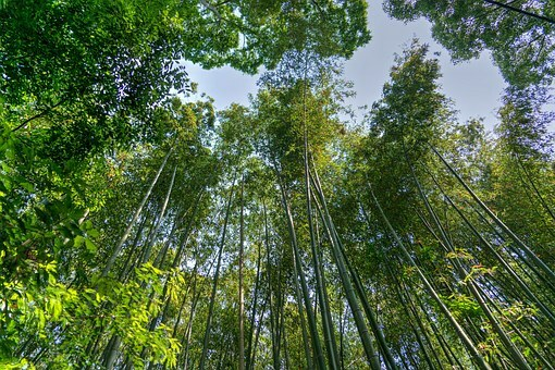 Bosque de bambú Arashiyama.