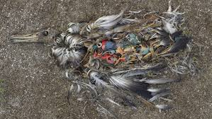 Muerte de ave marina por plástico.