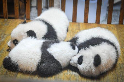 Crías de osos panda.