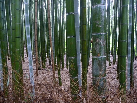 Bambú verde en Arashiyama.