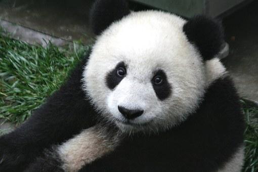 Cara de oso panda.