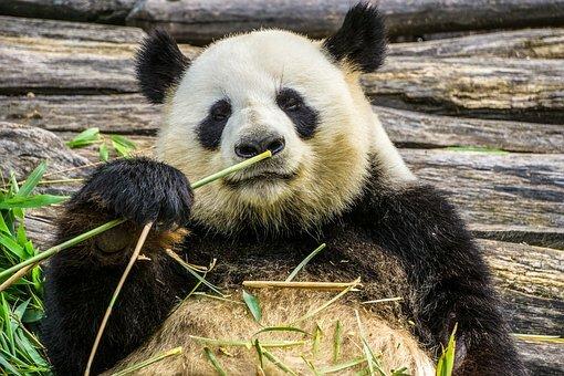 Oso panda comiendo brotes.