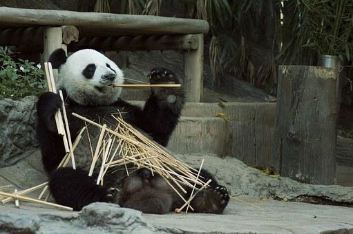 Oso panda comiendo caña de bambú.