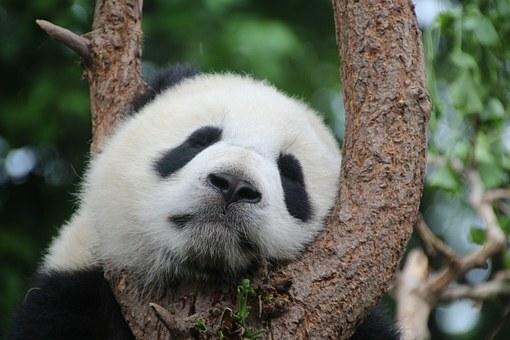 Oso panda en árbol.
