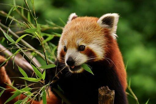 Panda rojo comiendo.