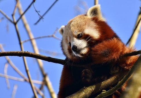 Panda rojo en árbol.