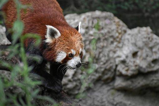 Panda rojo cazando.