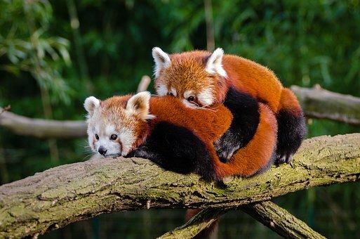 Panda rojo apareándose.