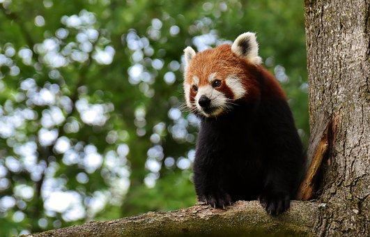 Panda rojo vigilante.