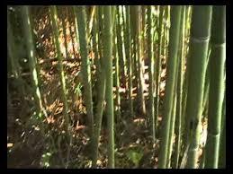 Plantación de bambú en sebrayo.
