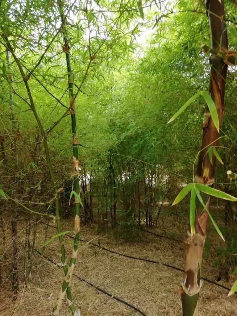 Plantación de bambú en Valencia.