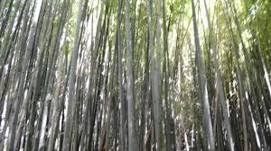 Bambú en Villaviciosa.