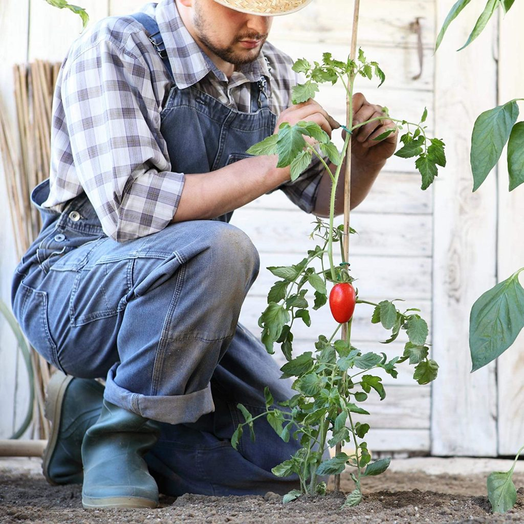 agricultor poniendo tutor a una planta de tomate.